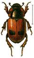 Aphodius bimaculatus.png