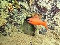 Apogon americanus - Praia do Paiva.jpg