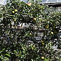 Apple espalier in Victorian garden Quex House Birchington Kent England.jpg