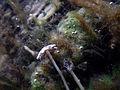 Aquatic fungus champignonAquatique à lamelles Moyenne-Deûle 2015 Lamiot 07.JPG