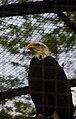 Aquila at Berlin zoo (2482530133).jpg