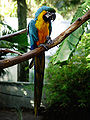 Ara ararauna -World of Birds -Cape Town-8a.jpg