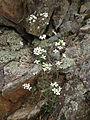 Arabidopsis lyrata - Lyre Leaf Rock Cress.jpg