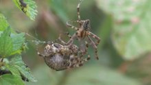 Պատկեր:Araneus diadematus - mating behaviour - long.ogv