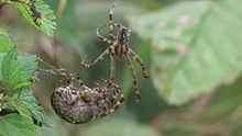 Bild:Araneus diadematus - mating behaviour - long.ogv