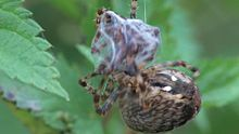 File:Araneus diadematus - mating behaviour - long.ogv