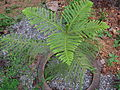 Araucaria heterophylla 04.JPG