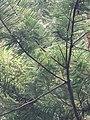 Araucaria heterophylla leaves (Ponta Delgada).JPG