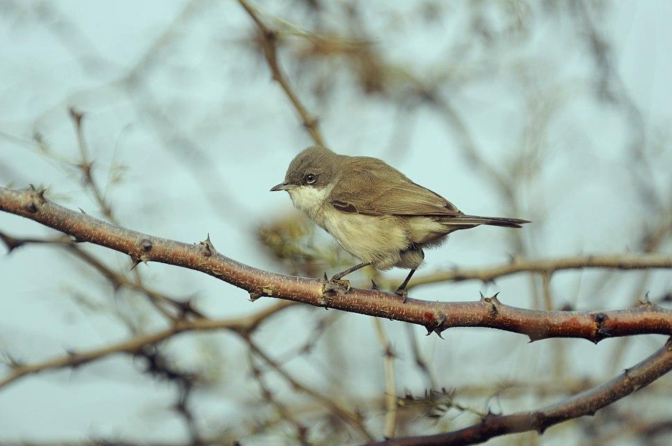 Aravalli BiodivPark Gurgaon DSC9051 lesser whitethroat