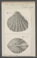 Arca senilis - - Print - Iconographia Zoologica - Special Collections University of Amsterdam - UBAINV0274 076 04 0024.tif