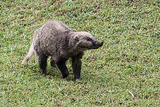Hog badger - Image: Arctonyx collaris hog badger 2