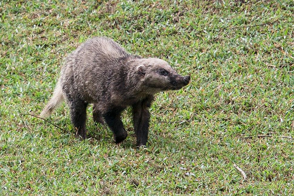 Arctonyx-collaris-hog-badger-2