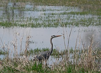 Vancouver Lake - Wetlands are vital to wildlife such as this great blue heron.