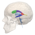Areas of Lateral ventricle - 04.png