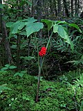 Arisaema triphyllum - Jack-in-the-Pulpit - Petit prêcheur (6112116376).jpg