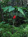 Arisaema triphyllum - Jack-in-the-Pulpit - Petit prêcheur (6112116376).jpg