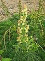 Artemisia sinanensis 03.JPG