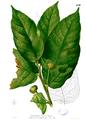 Artocarpus ovatus Blanco2.450.png