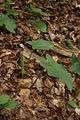 Arum maculatum - Čolnišče (2).jpg