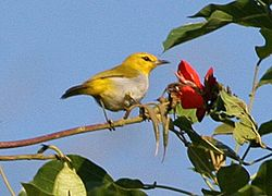 Ashy-bellied White-eye (Zosterops citrinellus).jpg