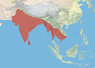 Asian openbill - Image: Asian Openbill