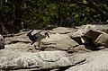 Asian openbill stork (Anastomus oscitans) from Ranganathittu Bird Sanctuary JEG4036.JPG