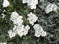 Asteraceae - Achillea clavennae.jpg