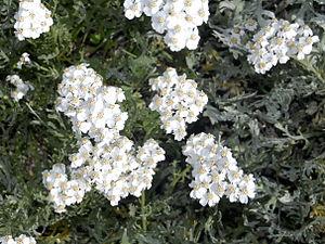 Achillea clavennae - Image: Asteraceae Achillea clavennae