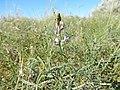 Astragalus flexuosus (27514362571).jpg