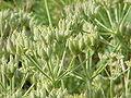 Athamanta cretensis1.jpg