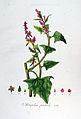 Atriplex patula — Flora Batava — Volume v7.jpg