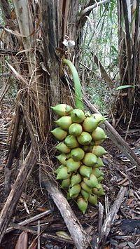 Attalea funifera Mart. ex Spreng. (6709150563).jpg