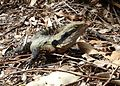 Australian Water Dragon (Physignathus lesueurii) (6161795568).jpg
