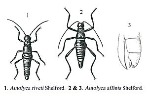 Robert Walter Campbell Shelford - Illustration from Shelford's 1913 publication
