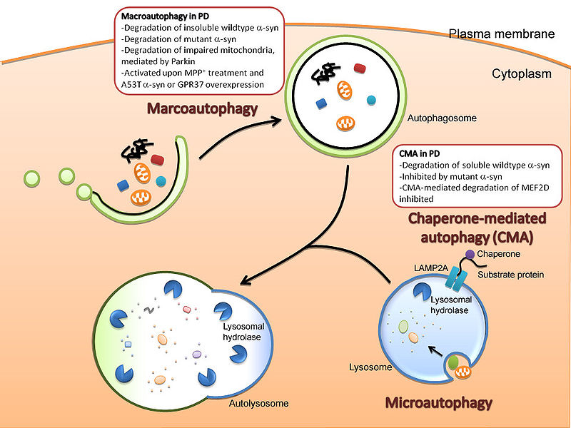 Autophagy deregulation and disease in Parkinson's. Credit: Cheung and Ip, Molecular Brain, 2009