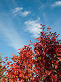 Autumn Red (6795277911).jpg