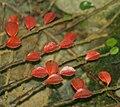 Autumnal cotoneaster, Halligarth, Baltasound - geograph.org.uk - 1606557.jpg