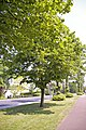Avenue of Lime Trees, Bramley Parade, London N14 - geograph.org.uk - 811573.jpg