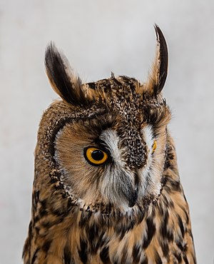 Long-eared owl - Close-up of the head.