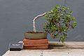 BBG - Ficus deltoidea - Literati.jpg