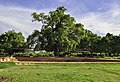 BRP Lumbini The Great Bodhi Tree.jpg