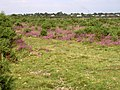 Bagshot Moor, East Boldre, New Forest - geograph.org.uk - 36441.jpg