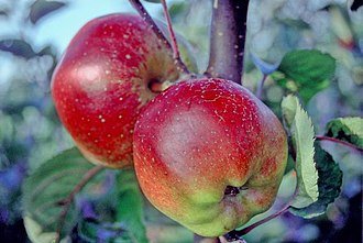 Baldwin (apple) - Baldwin apples