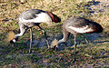 Balearica regulorum - Disney's Animal Kingdom Lodge, Orlando, Florida, USA - 20100119 - 02.jpg