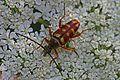 Banded Longhorn - Typocerus velutinus, Julie Metz Wetlands, Woodbridge, Virginia.jpg