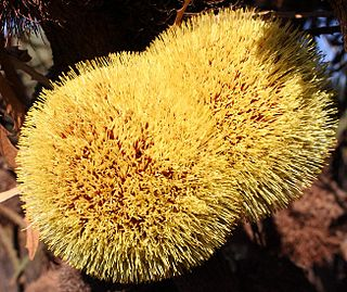 """<i>Banksia laevigata <span style=""""font-style:normal;"""">subsp.</span> fuscolutea</i> Subspecies of plant in the family Proteaceae native to the Southwest Botanical Province of Western Australia"""