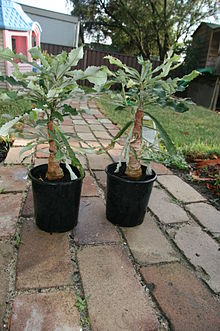 two potted seedlings with large trunks