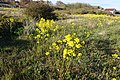 Barbarea vulgaris (Latin) Vinterkarse (Norwegian) Winter-cress Hedge mustard (English) Oslofjorden Hvasser Færder Norway 2020-05-08 7264.jpg