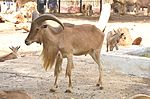 Barbary sheep at Giza Zoo by Hatem Moushir 60.JPG