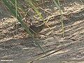 Barred Buttonquail (Turnix suscitator) (27830703209).jpg
